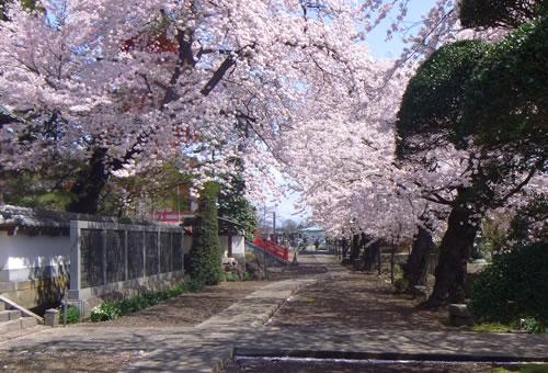 柳沢寺は4月上旬~中旬 桜・椿の花が見ごろです
